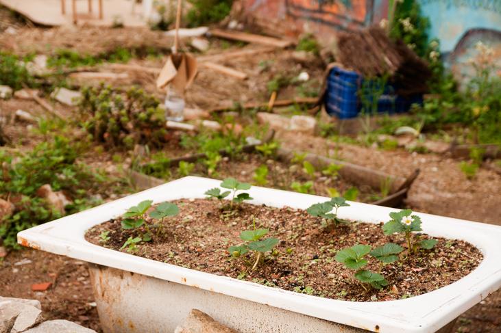 Cultivo de fresas en una vieja bañera, Huerto del Xino